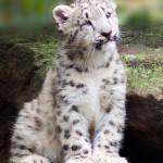 44% опрошенных установили себе легальный Snow Leopard