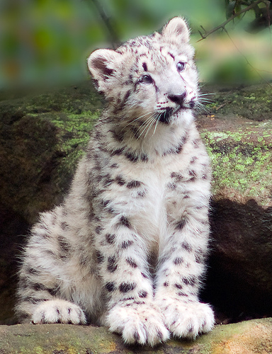 snowleopardcub2