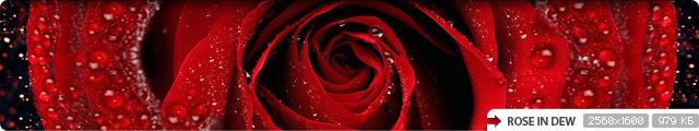 Rose in Dew