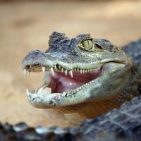 ipone-vs-alligator
